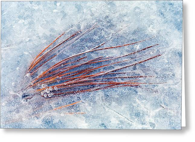 Pine Needles Greeting Cards - Trapped in Winter Greeting Card by Mike  Dawson