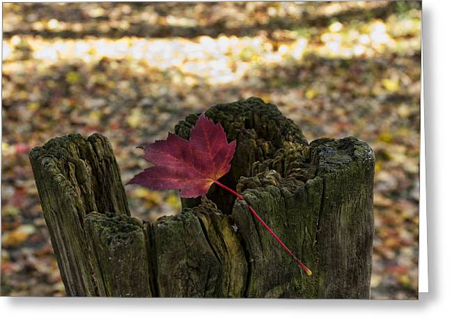 Colors Of Autumn Greeting Cards - Trapped Maple Leaf Greeting Card by Peter Chilelli