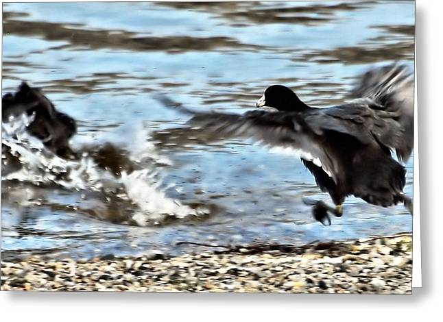 West Fork Greeting Cards - Travelin Coots Greeting Card by Don Mann