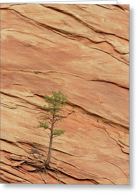 Slickrock Greeting Cards - Tree Clinging To Sandstone Formation Greeting Card by Gerry Ellis