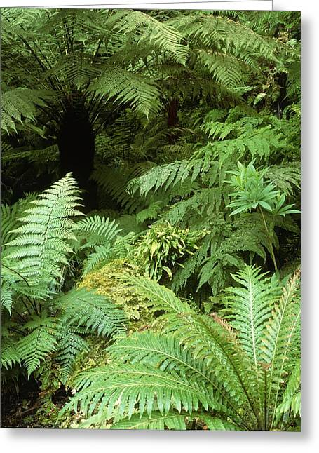 Cyatheales Greeting Cards - Tree Ferns And Ferns Greeting Card by Vaughan Fleming