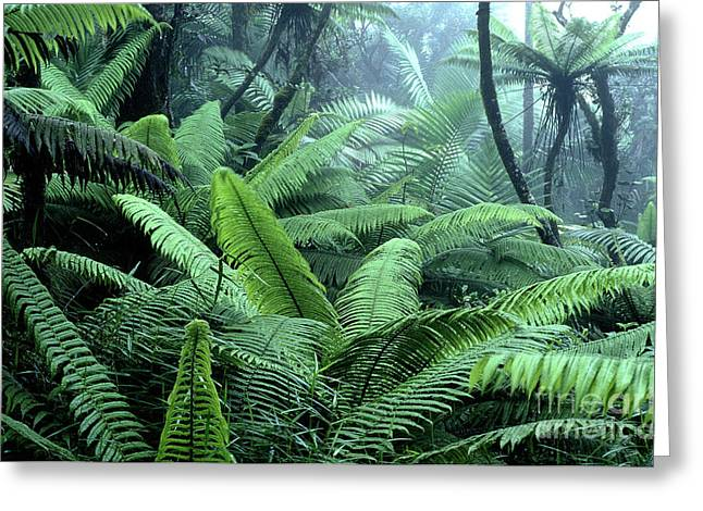 Puerto Rico Greeting Cards - Tree Ferns El Yunque National Forest Greeting Card by Thomas R Fletcher