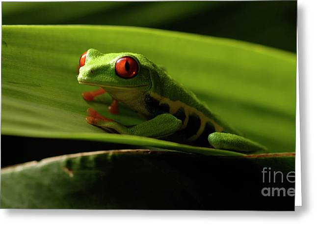 Tree Frog Greeting Cards - Tree Frog 9 Greeting Card by Bob Christopher