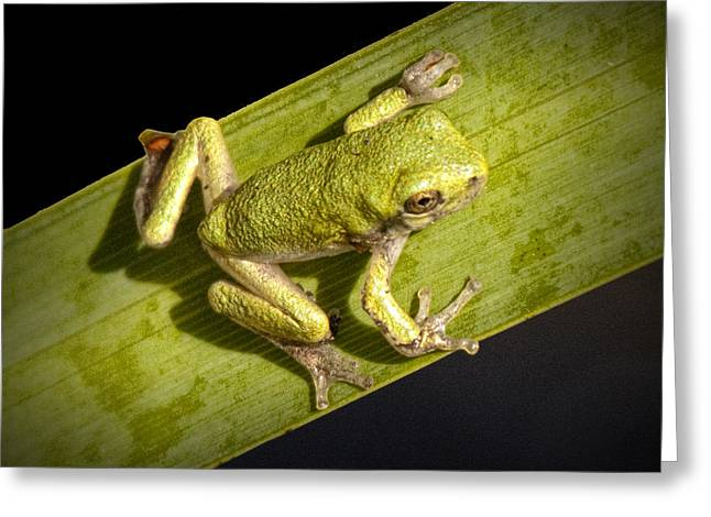 Tree Frog Greeting Cards - Tree Frog sitting on a Green Leaf Greeting Card by Randall Nyhof