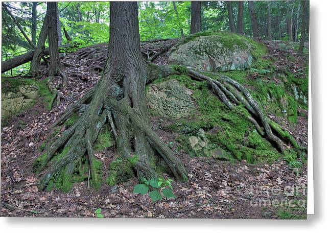 Tree Growing Over A Rock Greeting Card by Ted Kinsman