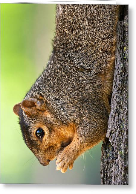 Fox Squirrel Greeting Cards - Tree Hugger Greeting Card by James Marvin Phelps