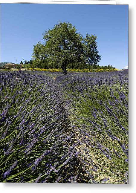 Perfumeries Greeting Cards - Tree in a field of lavender. Provence Greeting Card by Bernard Jaubert