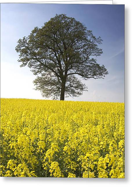 Ground Level Greeting Cards - Tree In A Rapeseed Field, Yorkshire Greeting Card by John Short