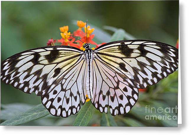 Kites Greeting Cards - Tree Nymph Butterfly Greeting Card by Jacky Parker