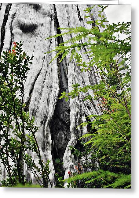 Tall Trees Greeting Cards - Tree of Life - Duncan Memorial Big Western Red Cedar Greeting Card by Christine Till