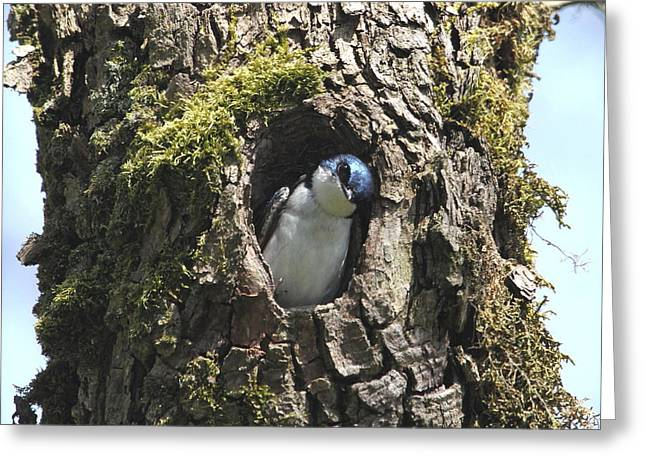 Wildlife Refuge. Greeting Cards - Tree Swallow Greeting Card by Angie Vogel