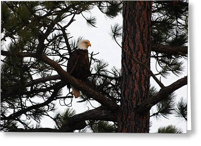 Eagle Greeting Cards - Treed Eagle Greeting Card by Don Mann