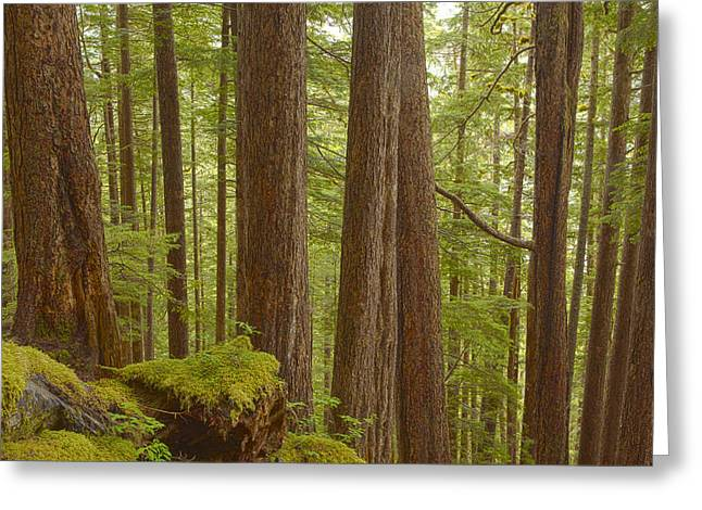 Southeast Alaska Greeting Cards - Trees in the Forest Greeting Card by Tim Grams