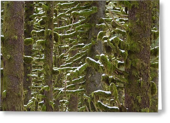 Kodiak Greeting Cards - Trees Moss and Snow Greeting Card by Tim Grams