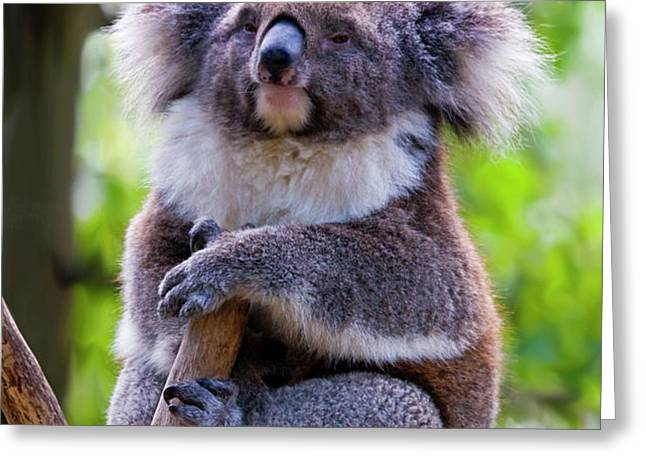 Treetop Koala Greeting Card by Mike  Dawson