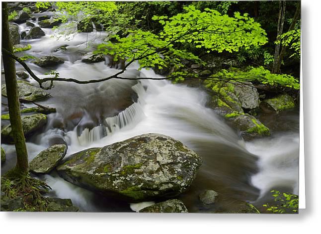 Pigeon In Park Greeting Cards - Tremont Spring in Great Smoky Mountains Greeting Card by Darrell Young