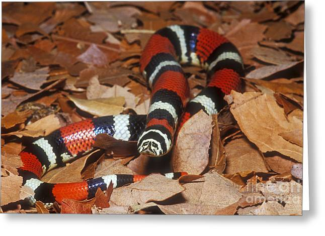 Paraguay Greeting Cards - Tricolor Hognose Snake Greeting Card by Dante Fenolio