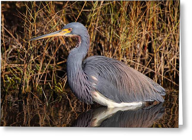Tricolored Heron Greeting Cards - Tricolored Heron Greeting Card by Bruce J Robinson