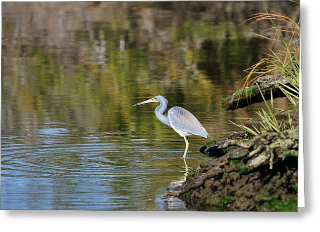 Tri-colored Heron Greeting Cards - Tricolored Heron Fishing Greeting Card by Al Powell Photography USA