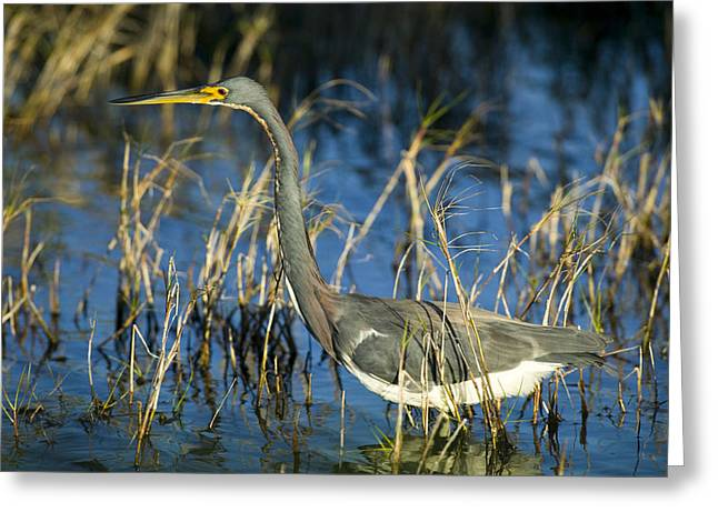 Tricolored Heron Greeting Cards - Tricolored Heron Hunting Greeting Card by Rich Franco