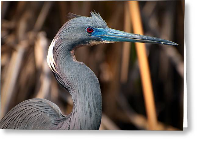 Egretta Thula Greeting Cards - Tricolored Heron in Breeding Plumage Greeting Card by Rich Leighton