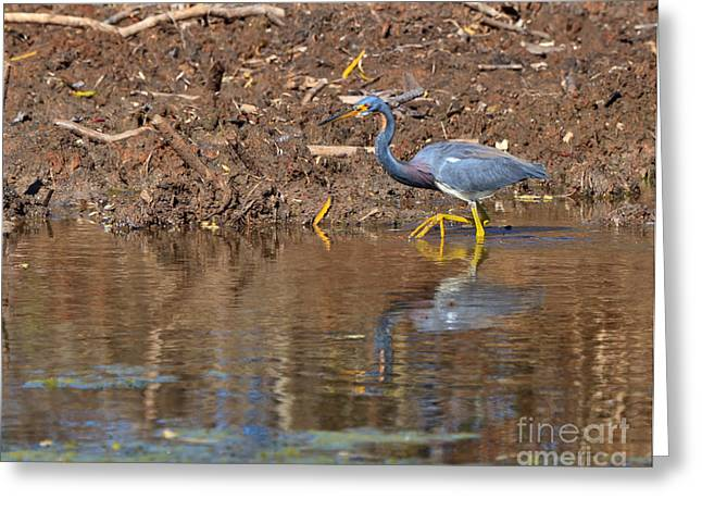 Tricolored Heron Greeting Cards - Tricolored Heron in the winter marsh Greeting Card by Louise Heusinkveld