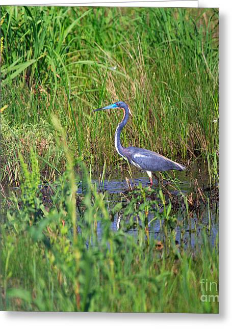 Tricolored Heron Greeting Cards - Tricolored Heron Greeting Card by Louise Heusinkveld