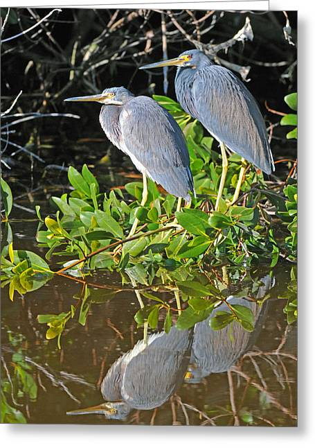 Greeting Cards - Tricolored Heron Pair Greeting Card by Alan Lenk