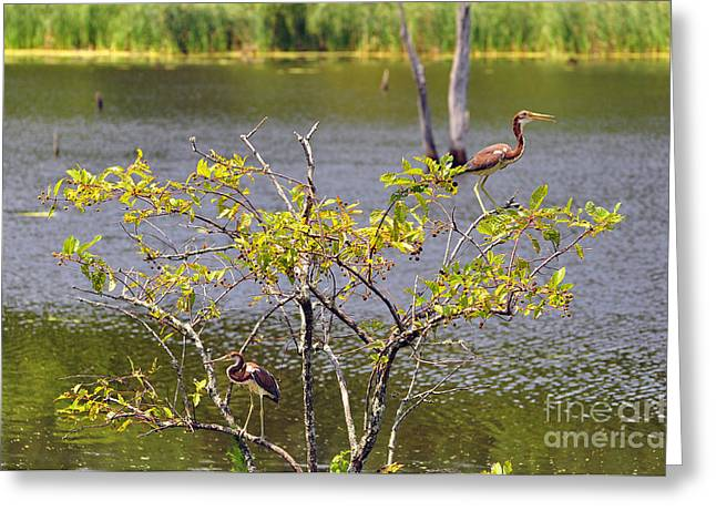 Louisiana Heron Greeting Cards - Tricolored Heron Tree Greeting Card by Al Powell Photography USA