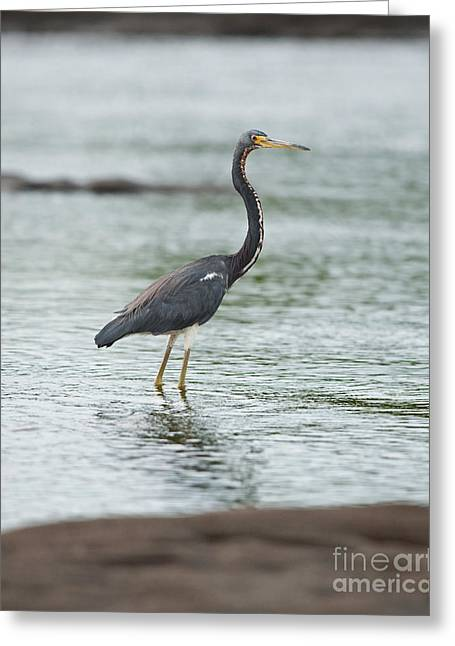 Tricolored Heron Greeting Cards - Tricolored..  Greeting Card by Nina Stavlund