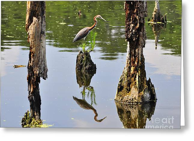 Louisiana Heron Greeting Cards - Tricolored Reflection Greeting Card by Al Powell Photography USA