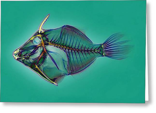 False-colour Greeting Cards - Triggerfish Skeleton, X-ray Greeting Card by D. Roberts