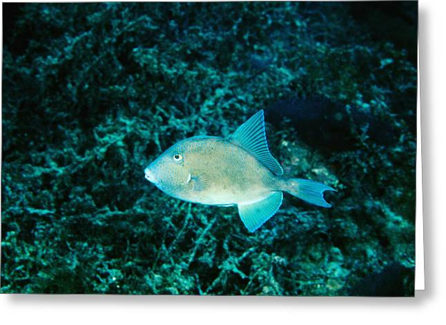 Diving Greeting Cards - Triggerfish Swimming Over Coral Reef Greeting Card by James Forte