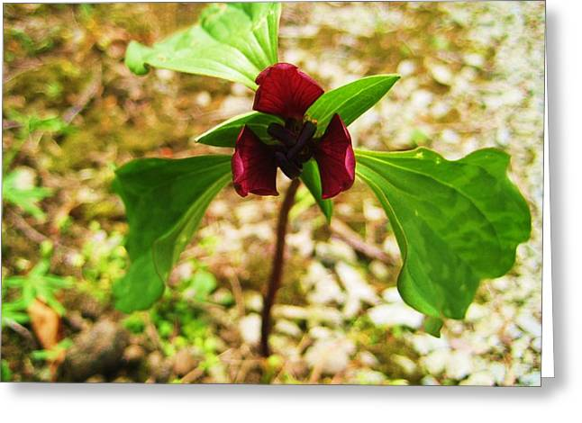 Indiana Flowers Greeting Cards - Trinity Flower Greeting Card by Bryan Wulf