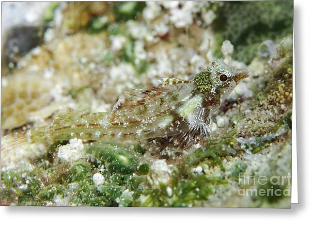 Indo-pacific Ocean Greeting Cards - Triplefin, Indonesia Greeting Card by Todd Winner