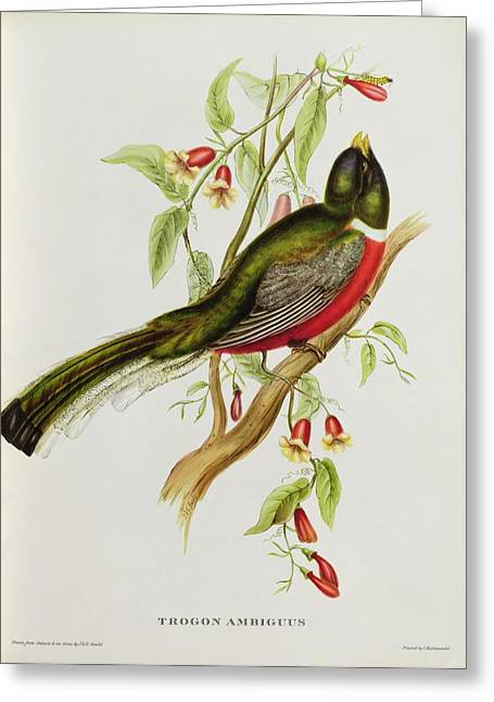 Foot Greeting Cards - Trogon Ambiguus Greeting Card by John Gould