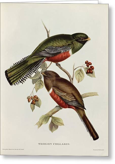 Tropical Bird Greeting Cards - Trogon Collaris Greeting Card by John Gould