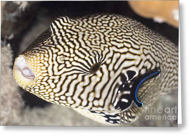 Pufferfish Greeting Cards - Tropecal fish pufferfish Greeting Card by MotHaiBaPhoto Prints