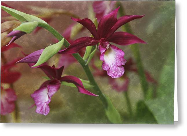 Cattleya Photographs Greeting Cards - Tropical Beauty Greeting Card by Debra and Dave Vanderlaan