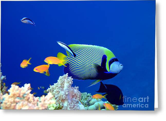 Ocean Landscape Greeting Cards - Tropical fish Angelfish  Greeting Card by MotHaiBaPhoto Prints