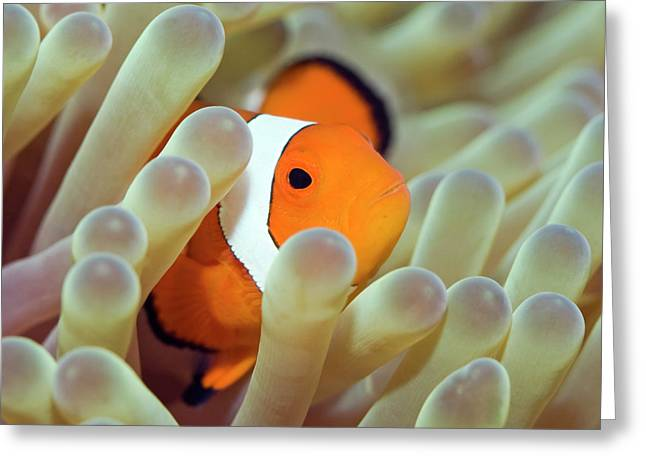 Tropical Oceans Greeting Cards - Tropical fish Clownfish Greeting Card by MotHaiBaPhoto Prints