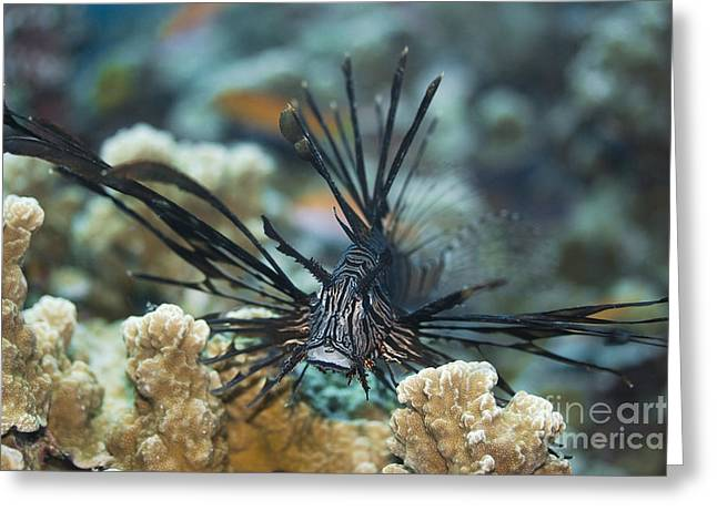 Lionfish Greeting Cards - Tropical fish Lionfish Greeting Card by MotHaiBaPhoto Prints