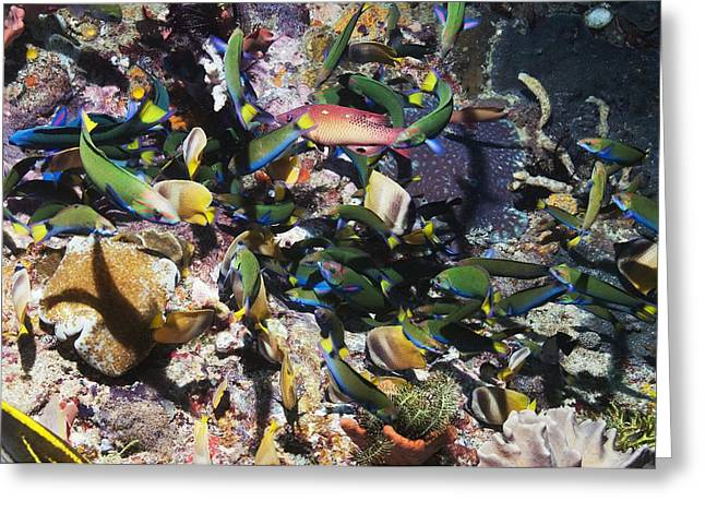 Indonesian Wildlife Greeting Cards - Tropical Fish Raiding Eggs On A Reef Greeting Card by Georgette Douwma