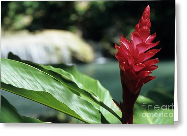 Ananas Greeting Cards - Tropical garden red flower Greeting Card by Sami Sarkis