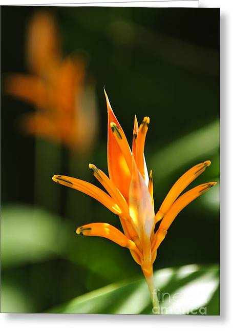 Tropical Flower Greeting Cards - Tropical orange heliconia flower Greeting Card by Elena Elisseeva