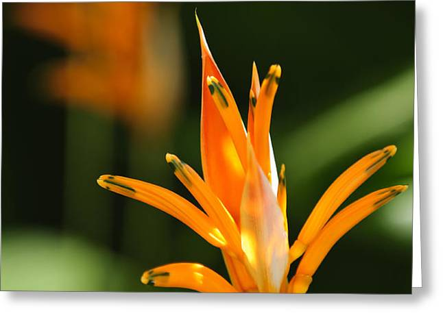 Tropical orange heliconia flower Greeting Card by Elena Elisseeva