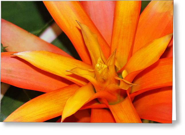 Bromeliad Photographs Greeting Cards - Tropical Orange Greeting Card by Suzanne Gaff