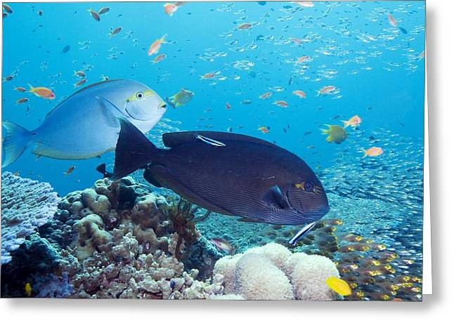 Elongate Surgeonfish Greeting Cards - Tropical Reef Fish Greeting Card by Georgette Douwma