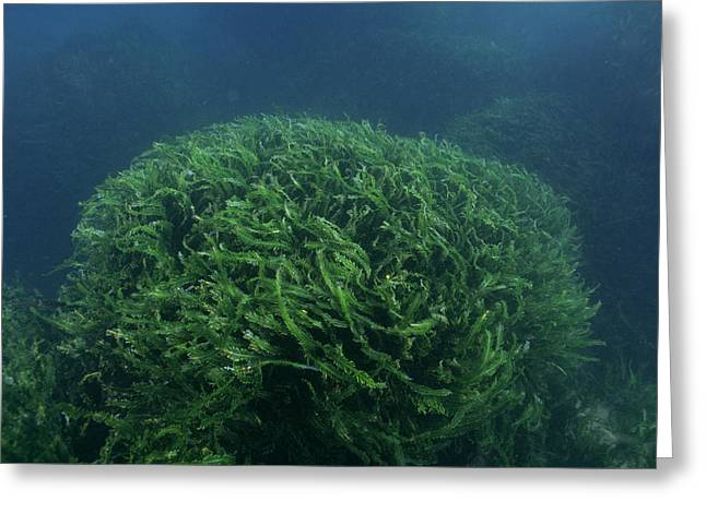 Algal Greeting Cards - Tropical Seaweed Greeting Card by Alexis Rosenfeld
