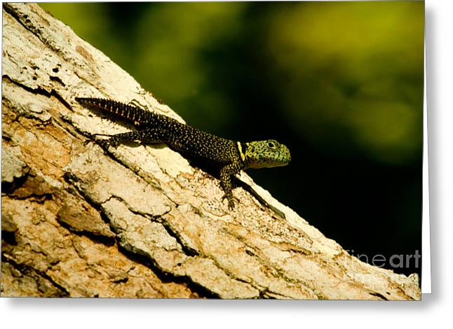 Forest Dweller Greeting Cards - Tropical Thornytail Iguana Greeting Card by Danté Fenolio